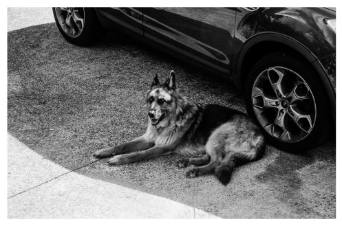 animal-automobile-black-and-white-800522.jpg