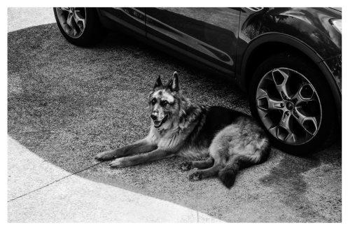 animal-automobile-black-and-white-800522.jpg